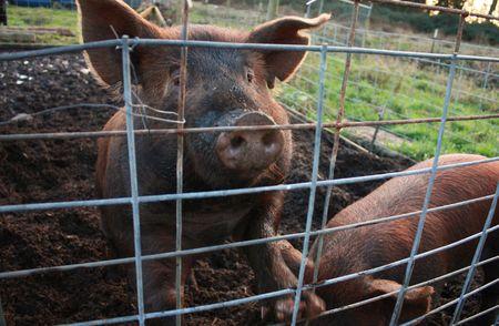 Pig peering through fence Stock Photo - 4112694