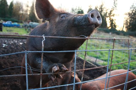 snort: Pig looking up over fence with its paw against the wire