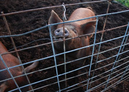 Pig looking up through fence Stock Photo - 4112679