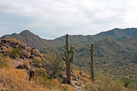 Desert hillside with saguaro cactus in Mesa, Arizona