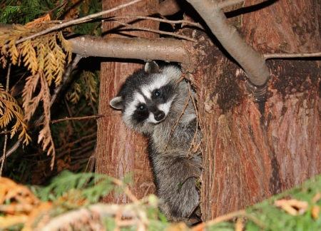 Young raccoon peering out from large pine tree