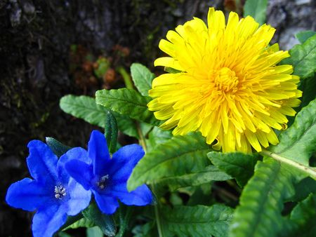 Bright yellow dandelion with two purple violets nestled in green foilage