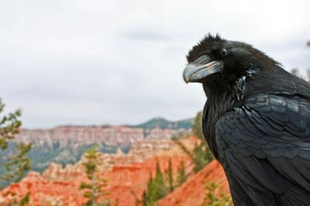 Black raven perched on a rock at Bryce Canyon, Utah Stock Photo