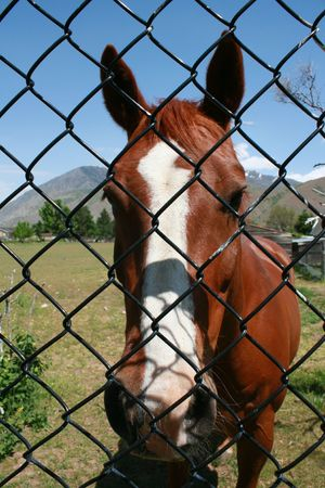 inhibited: Brown horse standing behind a chainlink fence Stock Photo