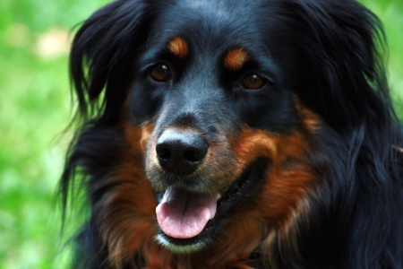 Friendly black and brown border collie