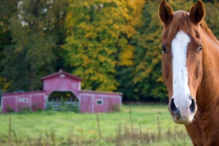 A brown horse in a pasture in autumn with a red barn in the background. Stock Photo