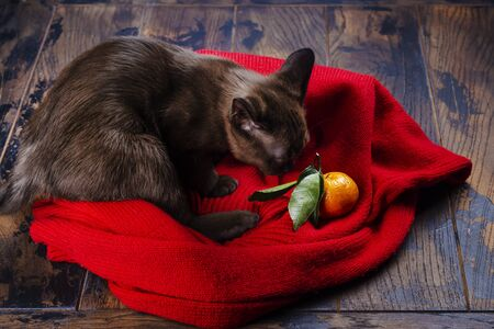 Cute little burmese kitten is sitting on a red jamper and playing with tangerine. Copy space