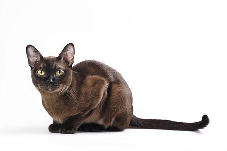 Burmese cat on white