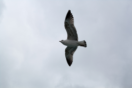 Seagull flying at a very windy and cloudy weather Stock Photo