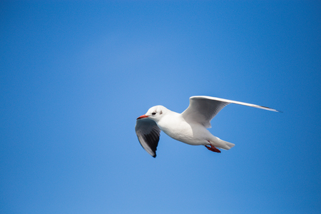 A young seagull in a flight, wrinkled wings, sunny day, clear blue sky, free flight