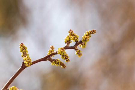 Close up of blooming buch branch