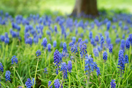 Blue hyacinths in a spring park. Beautiful spring nature. Close up Stock Photo
