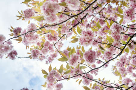 Colorful pink blossoming sakura branches against sky. Camera rotaion 360 degree. Beauty of spring nature Stock Photo