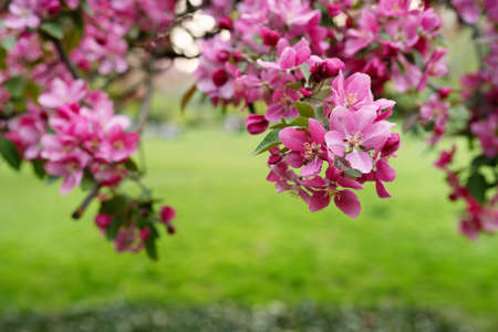 Purple flowers on tree branch against green background. Close up. Spring nature in garden Stock Photo