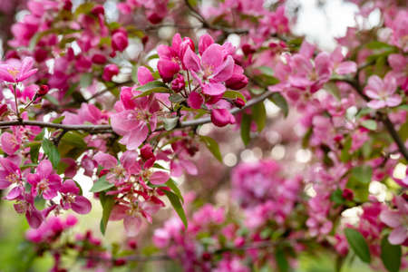 Apples or cherry purple flowers on branch in blossom. Close up. Beauty of spring background