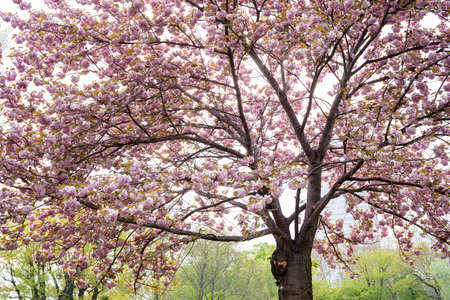 Big sakura tree in blossom with colorful pink flowers. Cherry spring blossom. Beauty of spring nature