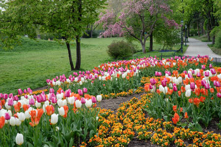 Colorful tulips in a spring park. Tulip flowers blossom in springtime