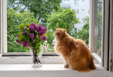 Beautiful red-haired cat sniffs a bouquet of lilac flowers at open window. Engoying the moment, belonging and reducing stress concept Stock Photo