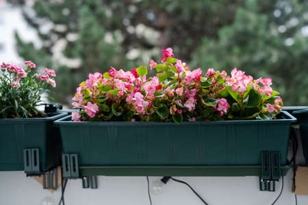 Close up of bright pink begonia flowers on balcony. Home gardening