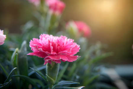 Macro shot of pink carnation flower in early morning hours. Elements of nature. Well-being Stock Photo
