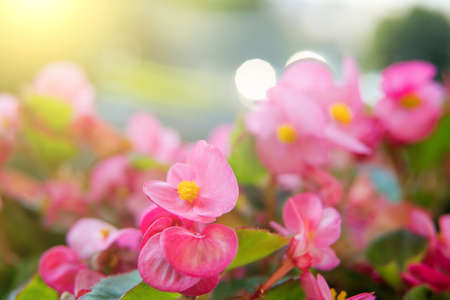 Close up of bright pink begonia flowers background during sunrise. Abstract composition. Environment. Nature inspired. Home gardening Stock Photo