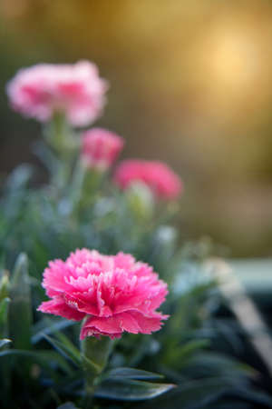 Close up of bright of pink carnation flower in early morning hours. Environment. Well-being