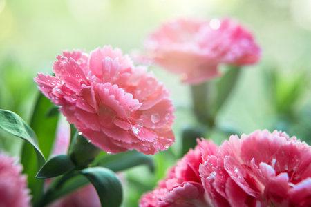 Beautiful pink carnation flower during sunrise. Close up. Macro shot. Environment. Elements of nature. Gardening concept