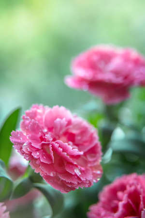 Macro shot of beautiful pink carnation flowers with water drops on pettals. Gardening concept. Environment. Elements of nature. Well-being