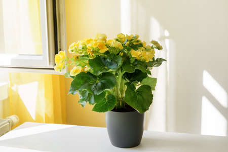 Close up of beautiful yellow begonia in a pot at the table next to a window. Positive bright yellow colors. Shadows on the wall. Home gardening Stock Photo