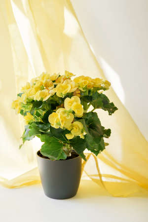 Close up of yellow begonia in a gray pot against wall with shadows and bright yellow curtain. Hobby gardening. Potted plants