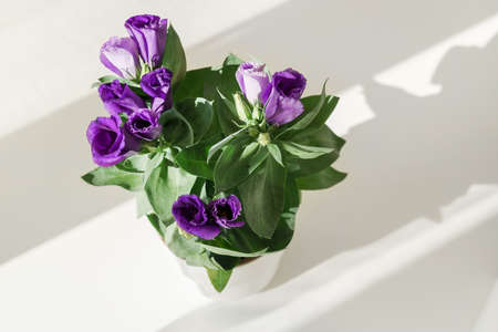 Top view of beautiful blue potted flower eustoma on white background with long shadows. Home gardening