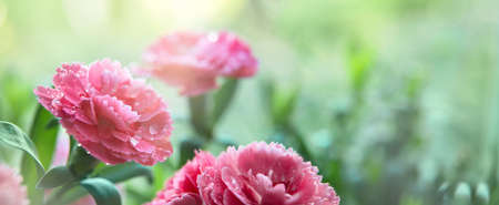 Pink carnation flowers during sunrise. Long banner. Close up. Environment. Elements of nature. Gardening concept. Copy space