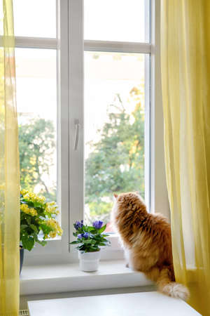 The ginger cat enjoying the moment and looking outside of the window. Comfort home zone. Positive yellow colors