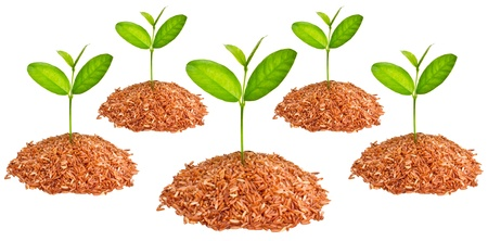 agriculturist: little tree growing on a pile of red organic rice  Stock Photo