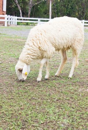 ewe: Close up of sheep