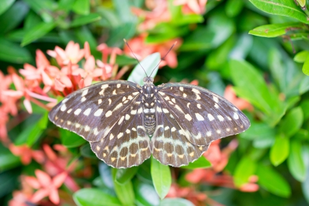 Tailed Jay butterfly  photo