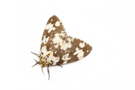 Tussock moth butterfly isolated on white background