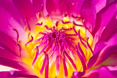 Close up of pink water lily with pollen  photo