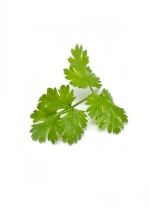 cilantro: Hierba fresca cilantro cilantro aislado en un fondo blanco Foto de archivo
