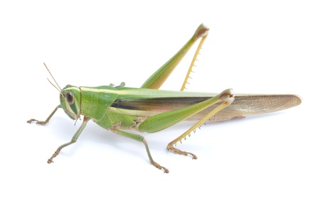 grasshoppers: Grasshopper isolated on white background.