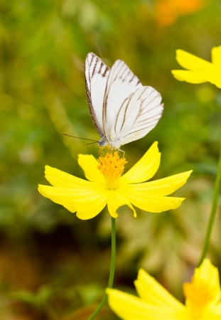 pieridae: White butterfly with yellow cosmos.