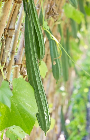 gourds: Angled gourd