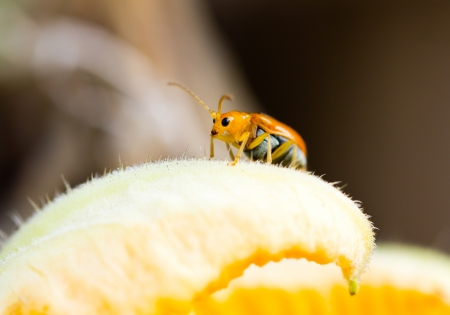 eradicate: Close up og young Rice Thrips, pumpkin pest