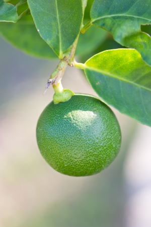 Close up of green lemon  photo