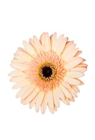 beau: Gerbera flower  Beau   Stock Photo