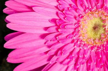 Close up of pink gerbera Stock Photo - 20427759