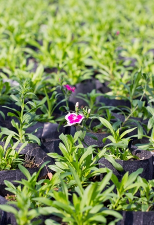 cultivate: Dianthus flowers cultivate