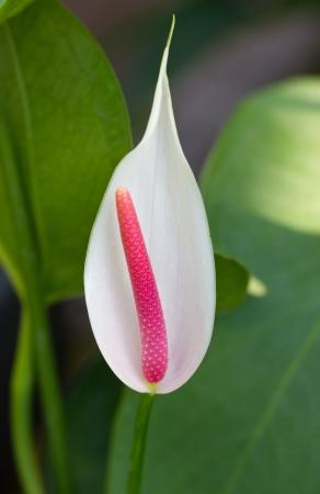 spadix: Anthurium Flamingo flowers