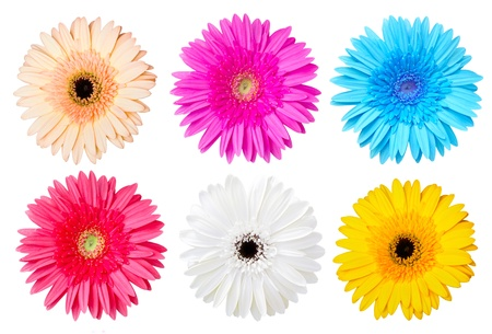 Multicolor gerber daisy isolated on white  photo