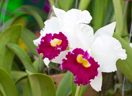 Cattleya orchid flowers photo